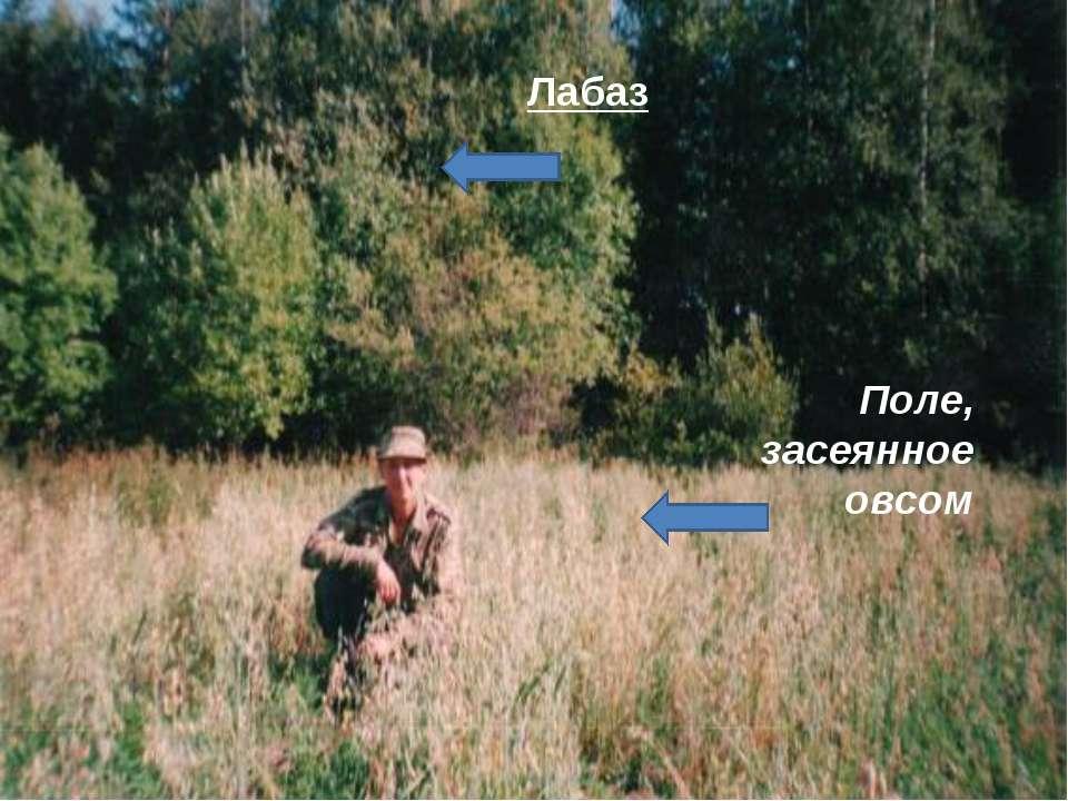 Поле, засеянное овсом Лабаз