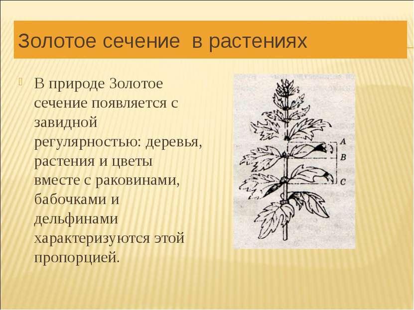 Золотое сечение в растениях В природе Золотое сечение появляется с завидной р...