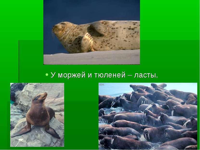 У моржей и тюленей – ласты.