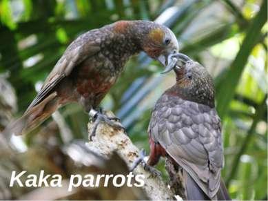 Kaka parrots