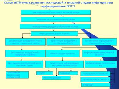 Схема патогенеза развития последовой и плодной стадии инфекции при инфицирова...