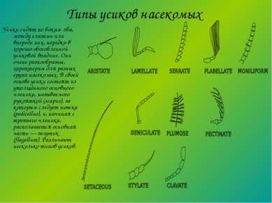 Типы усиков насекомых Усики сидят по бокам лба, между глазами или впереди них...