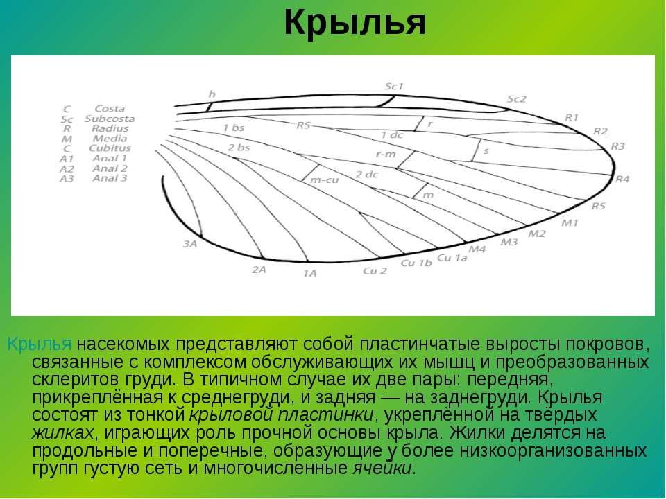 Крылья Крылья насекомых представляют собой пластинчатые выросты покровов, свя...
