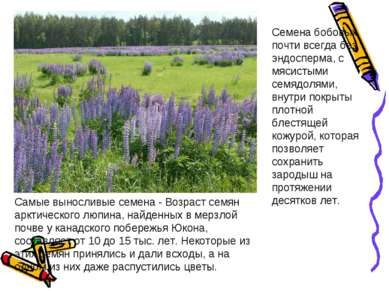 Самые выносливые семена - Возраст семян арктического люпина, найденных в мерз...