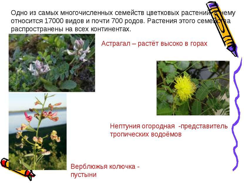 Одно из самых многочисленных семейств цветковых растений. К нему относится 17...