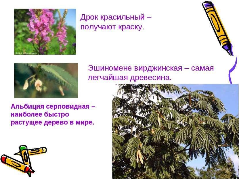 Дрок красильный – получают краску. Эшиномене вирджинская – самая легчайшая др...