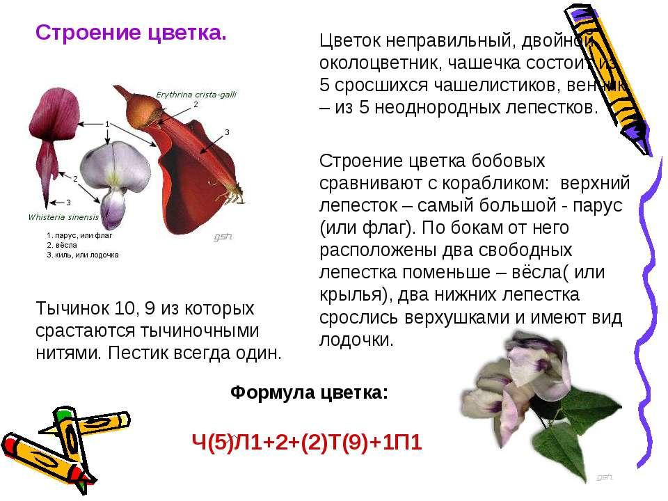 Строение цветка. Цветок неправильный, двойной околоцветник, чашечка состоит и...