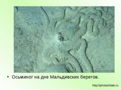 Осьминог на дне Мальдивских берегов. http://photoshtab.ru