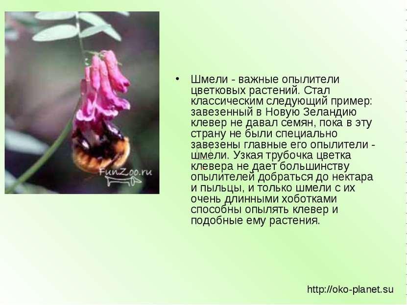 Шмели - важные опылители цветковых растений. Стал классическим следующий прим...