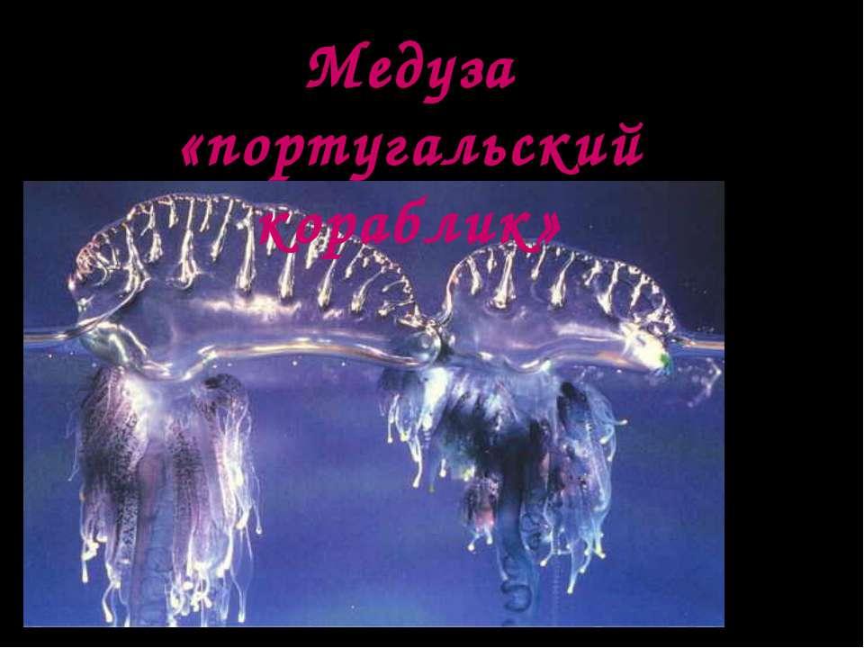 Медуза «португальский кораблик»