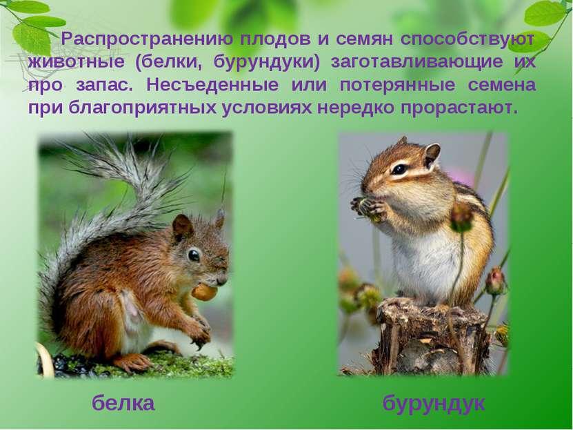 Распространению плодов и семян способствуют животные (белки, бурундуки) загот...