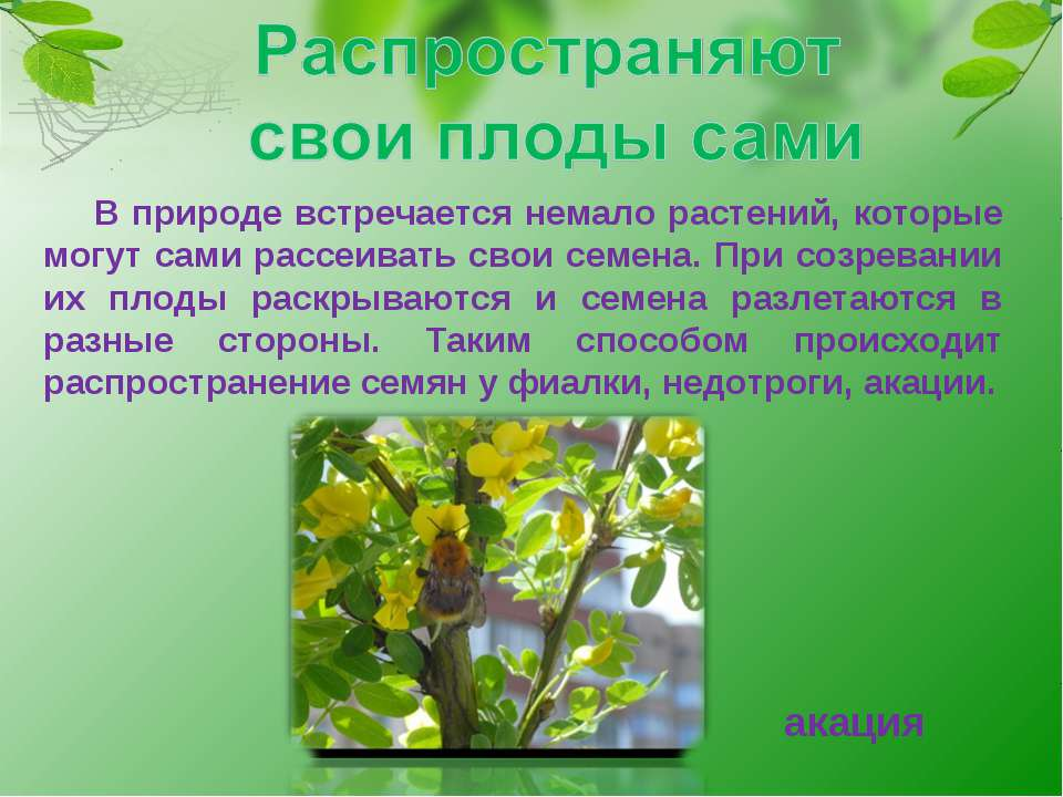 В природе встречается немало растений, которые могут сами рассеивать свои сем...