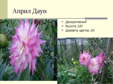 Април Даун Декоративный Высота 120 Диаметр цветка -20