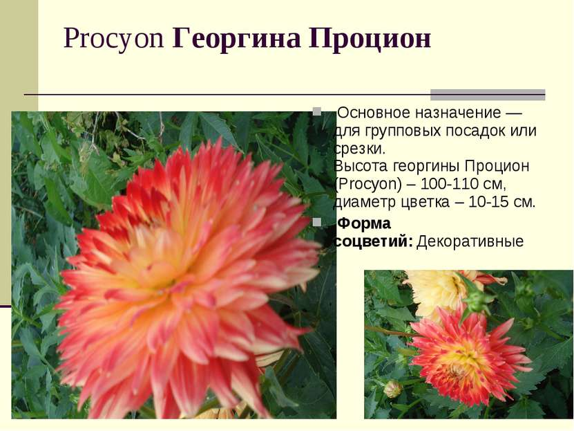 Procyon Георгина Процион Основное назначение — для групповых посадок или ср...