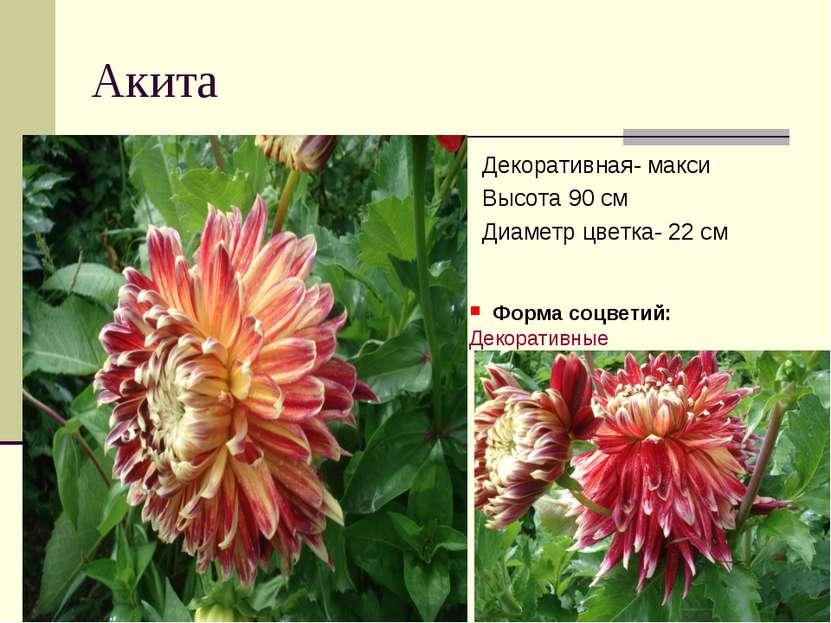 Акита Декоративная- макси Высота 90 см Диаметр цветка- 22 см Форма соцветий:...