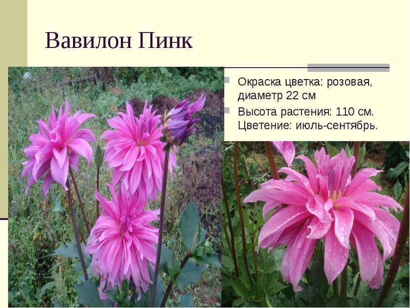 Вавилон Пинк Окраска цветка: розовая, диаметр 22 см Высота растения: 110 см. ...