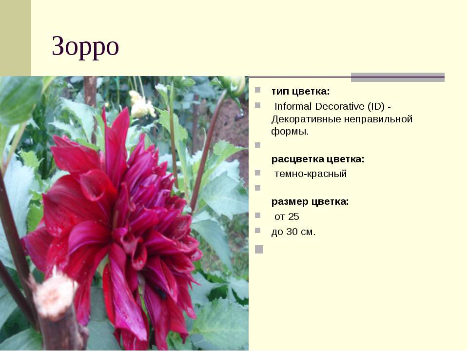 Зорро тип цветка: Informal Decorative (ID) - Декоративные неправильной форм...
