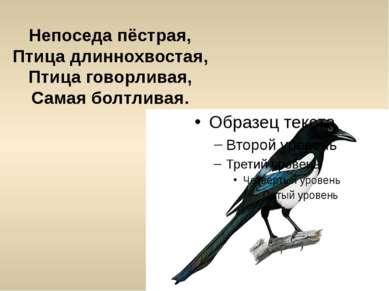 Непоседа пёстрая, Птица длиннохвостая, Птица говорливая, Самая болтливая.