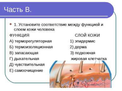 Часть В. 1. Установите соответствие между функцией и слоем кожи человека ФУНК...