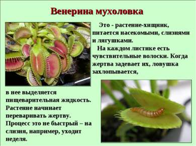 Венерина мухоловка Это - растение-хищник, питается насекомыми, слизнями и ляг...