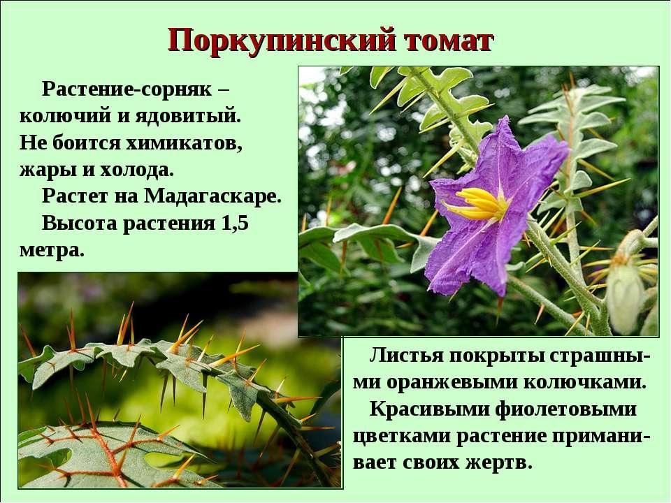 Поркупинский томат Растение-сорняк – колючий и ядовитый. Не боится химикатов,...