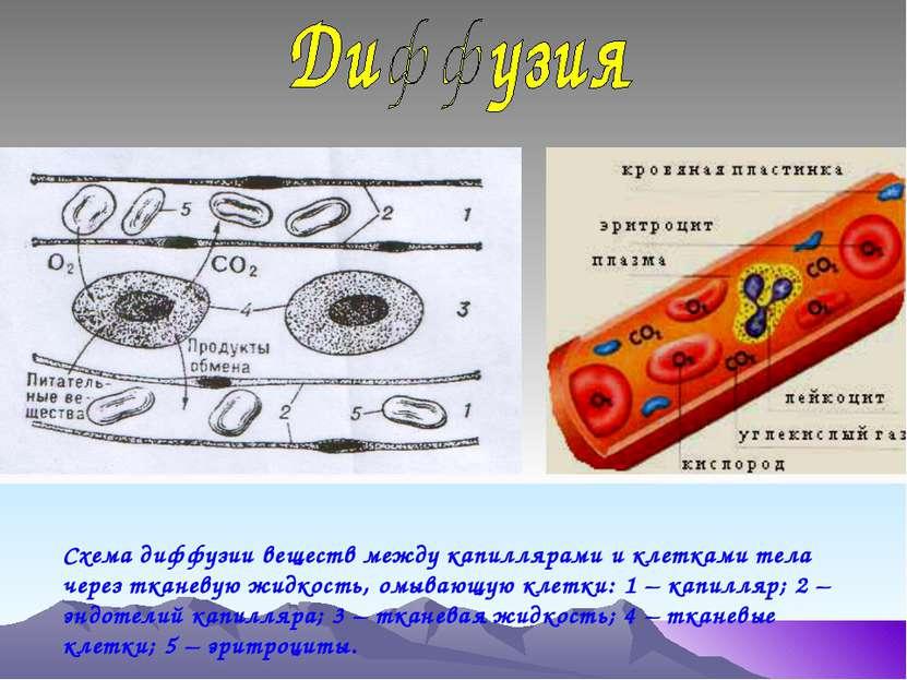 Схема диффузии веществ между капиллярами и клетками тела через тканевую жидко...