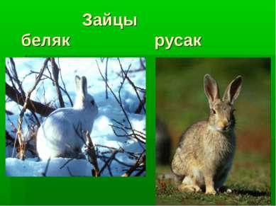 Зайцы беляк русак
