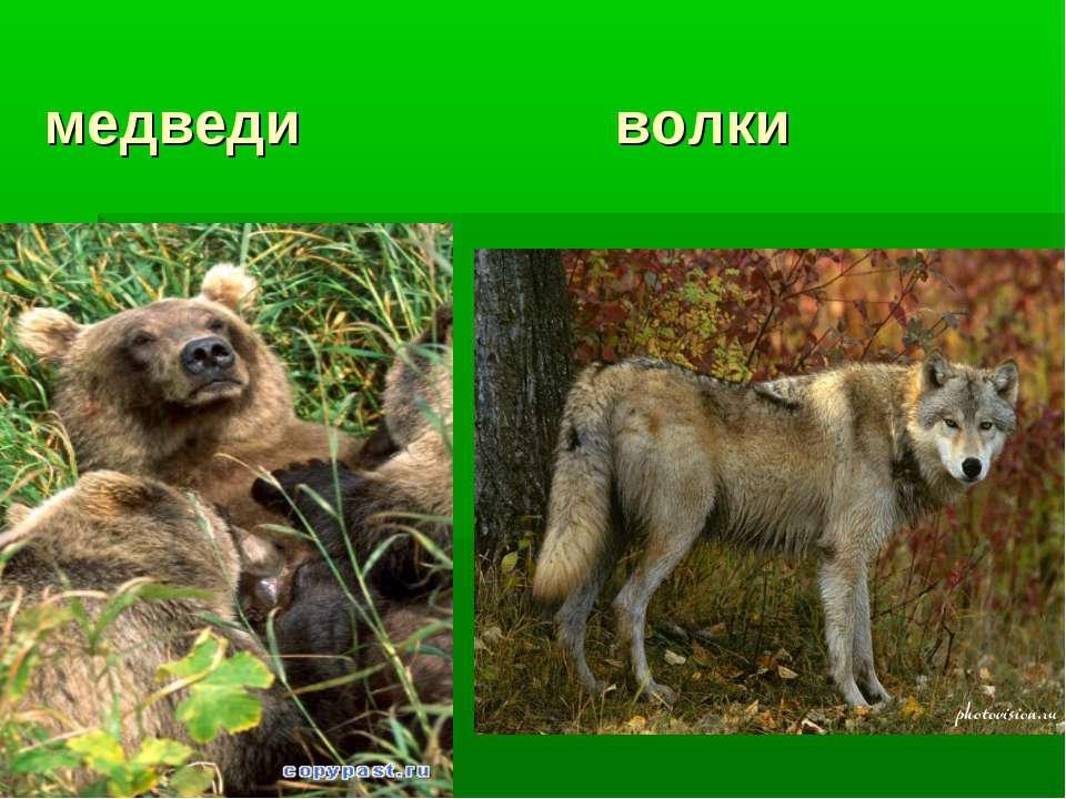 медведи волки