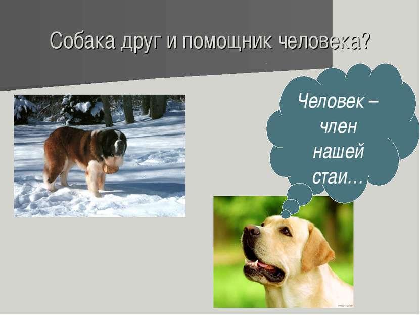Собака друг и помощник человека? Человек – член нашей стаи…