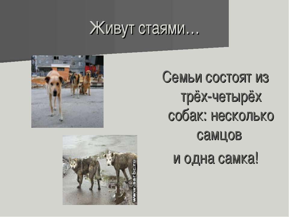Живут стаями… Семьи состоят из трёх-четырёх собак: несколько самцов и одна са...