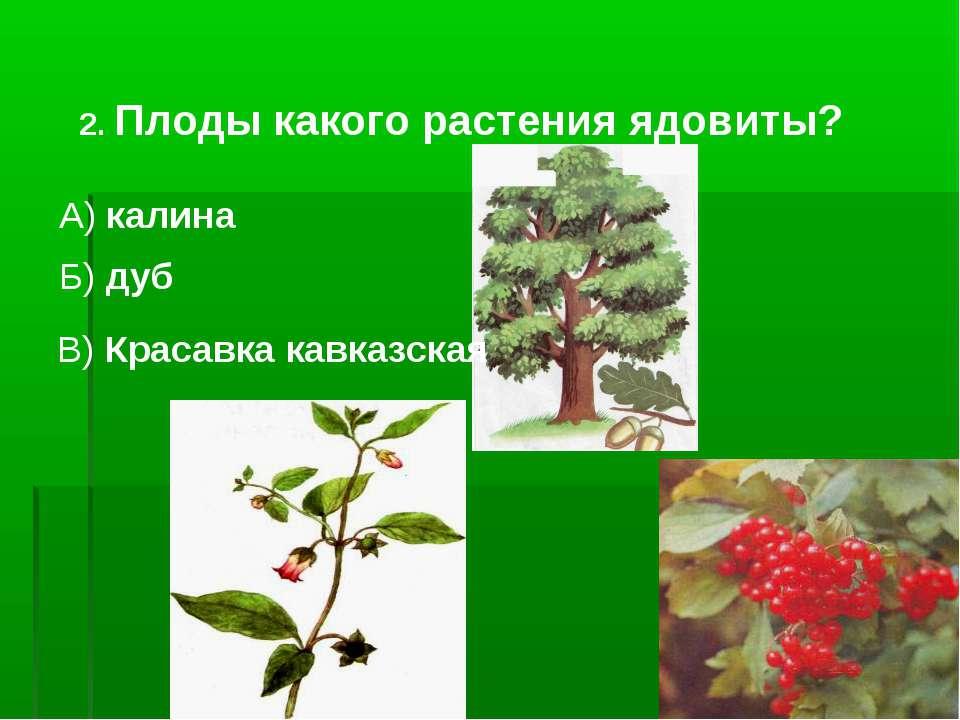 2. Плоды какого растения ядовиты? А) калина Б) дуб В) Красавка кавказская