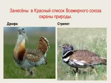 Занесёны в Красный список Всемирного союза охраны природы. Дрофа Стрепет