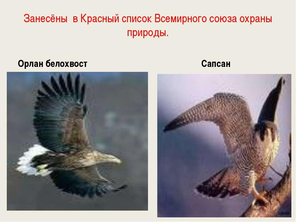 Занесёны в Красный список Всемирного союза охраны природы. Орлан белохвост Са...