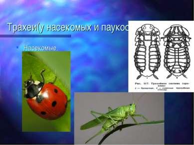 Трахеи(у насекомых и паукообразных) Насекомые