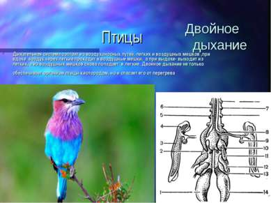 Птицы Дыхательная система состоит из воздухоносных путей, легких и воздушных ...