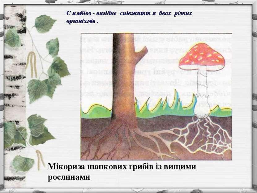 Мікориза шапкових грибів із вищими рослинами С имбіоз - вигідне співжитт я дв...
