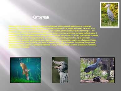 Китоглав Характеристика. Китоглав— птица из отряда аистообразных, единственны...