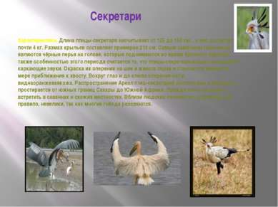 Секретари Характеристика. Длина птицы-секретаря насчитывает от 125 до 150 см,...