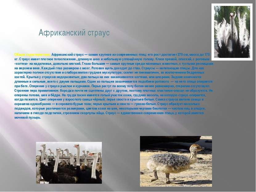 Африканский страус Общая характеристика. Африканский страус — самая крупная и...