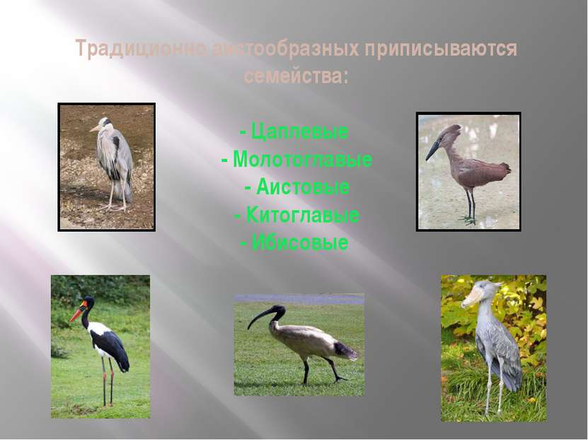 Традиционно аистообразных приписываются семейства: - Цаплевые - Молотоглавые ...