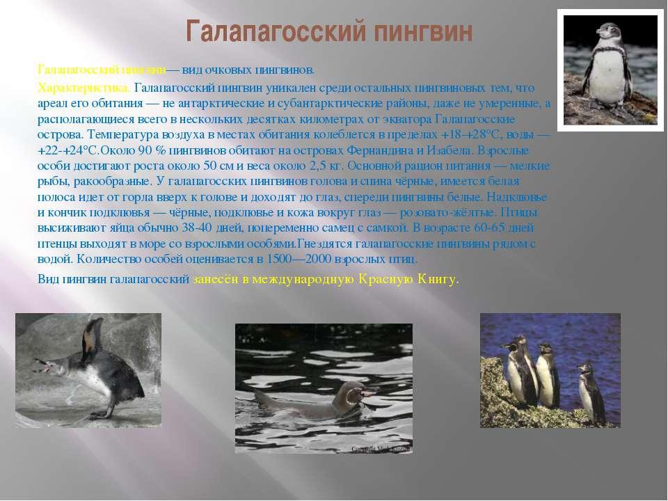 Галапагосский пингвин Галапагосский пингвин— вид очковых пингвинов. Характери...