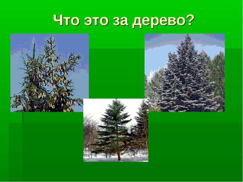 Что это за дерево?