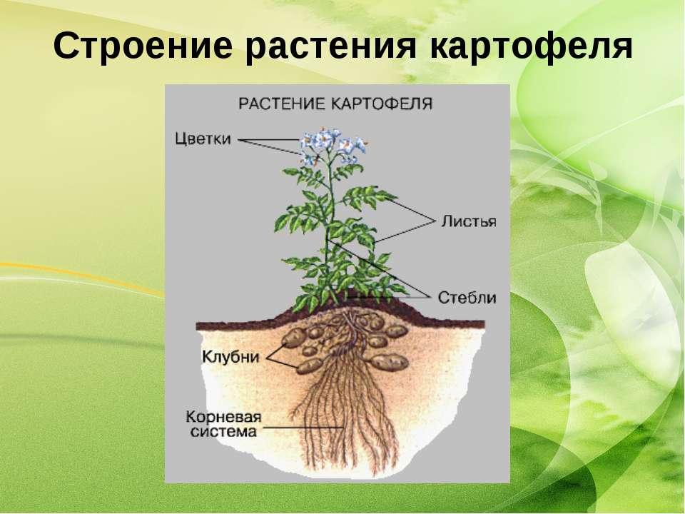 Строение растения картофеля