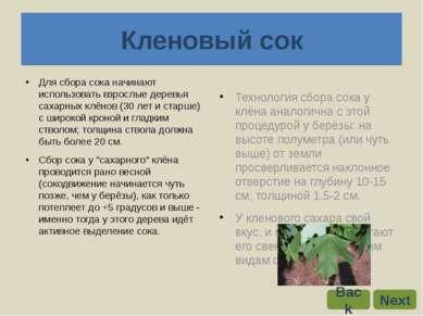 Для сбора сока начинают использовать взрослые деревья сахарных клёнов (30 лет...