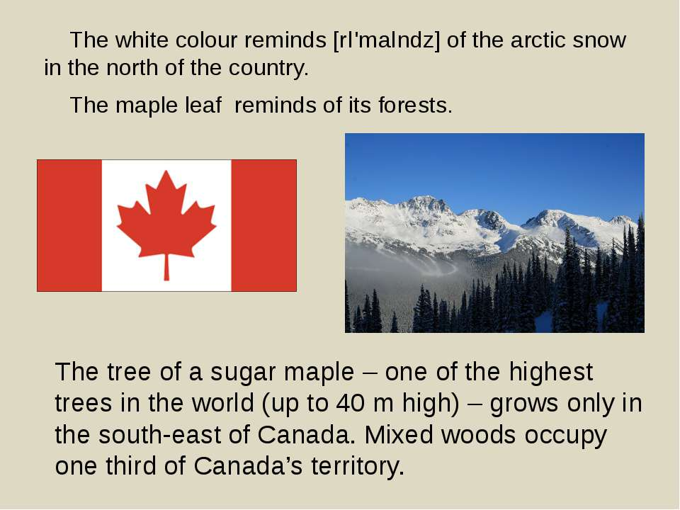 The tree of a sugar maple – one of the highest trees in the world (up to 40 m...