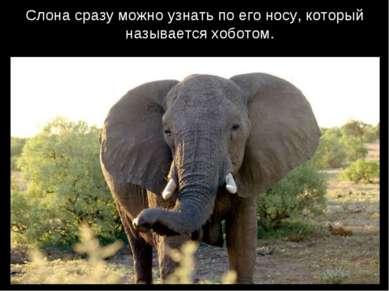 Слона сразу можно узнать по его носу, который называется хоботом.