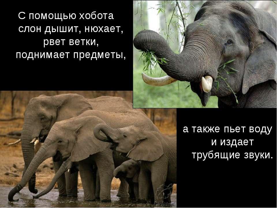 С помощью хобота слон дышит, нюхает, рвет ветки, поднимает предметы, а также ...