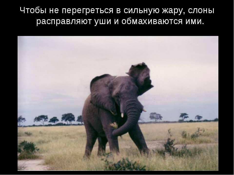 Чтобы не перегреться в сильную жару, слоны расправляют уши и обмахиваются ими.