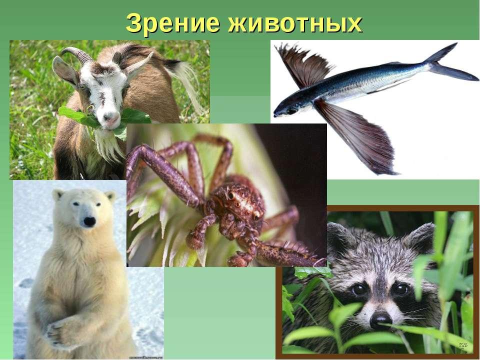 Зрение животных