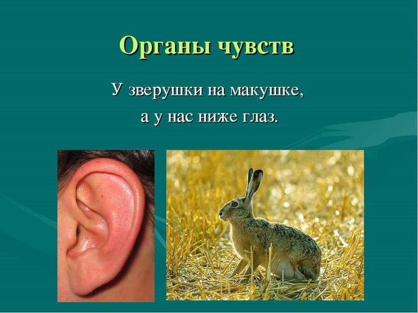 Органы чувств У зверушки на макушке, а у нас ниже глаз.